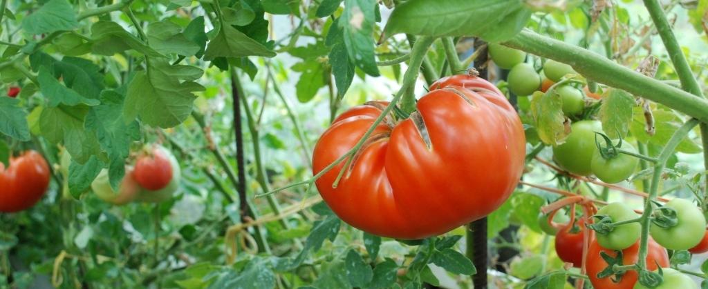 минусинский помидор